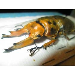 Wild 78mm Allotopus moellenkampi moseri