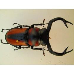 Wild 65mm Rhaetulus speciosus, A1, No.RS11
