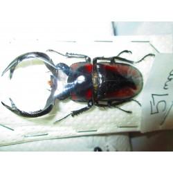 Wild 57mm Rhaetulus speciosus, A1, No.RS3