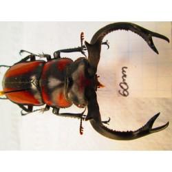 Wild 60mm Rhaetulus speciosus, A1, No.RS6