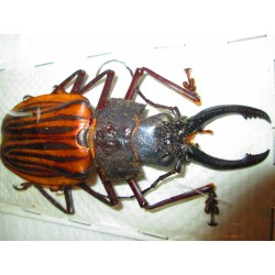 91mm Macrodontia castroi