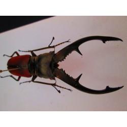 Cyclommatus tarandus