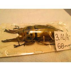 68mm Allotopus moellenkampi moseri, A1/A-, No.3