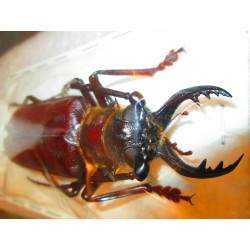 93mm Acanthophorus serraticornis, A-