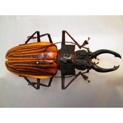 Macrodontia castroi